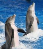 Delfínes juguetones Imágenes de archivo libres de regalías