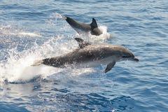 Delfínes manchados atlánticos Foto de archivo
