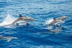 Delfínes manchados atlánticos Fotografía de archivo