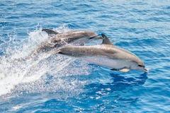 Delfínes manchados atlánticos Fotos de archivo libres de regalías