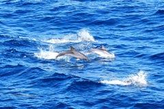 Delfínes manchados atlánticos Fotos de archivo