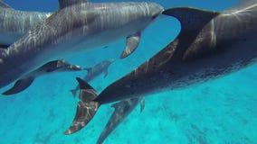 Delfínes manchados atlánticos almacen de video