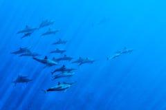 Delfínes mientras que nada bajo el agua imagenes de archivo