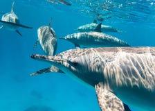 Delfínes pacíficos del este en el Mar Rojo Imagenes de archivo