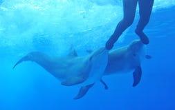 Delfínes que juegan con el hombre Fotos de archivo