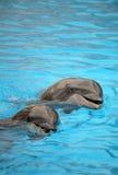Delfínes que nadan Foto de archivo libre de regalías