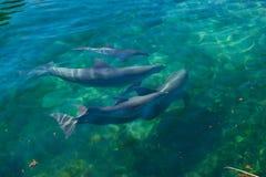 Delfínes que nadan. Foto de archivo libre de regalías