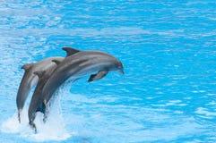 Delfínes que nadan Imagen de archivo libre de regalías