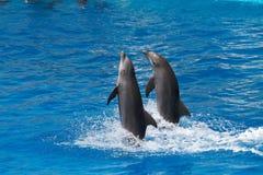 Delfínes que nadan Imágenes de archivo libres de regalías