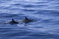 Delfínes que nadan Imagenes de archivo