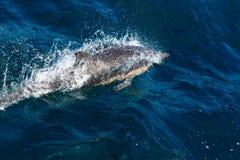 Delfínes que nadan Fotografía de archivo libre de regalías