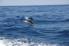 Delfínes que practican una abertura el mar Foto de archivo libre de regalías