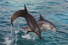 Delfínes que saltan hacia fuera el agua Imagen de archivo libre de regalías
