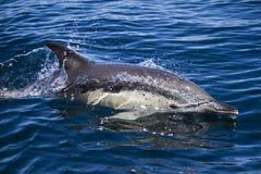 Delfínes salvajes Fotografía de archivo libre de regalías