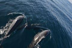 Delfínes salvajes Imagenes de archivo