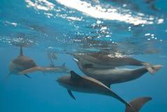 Delfínes salvajes de acoplamiento del hilandero. Foto de archivo