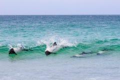 Delfínes salvajes de Commersons, Falkland Islands Fotografía de archivo