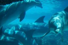 Delfínes subacuáticos Imagenes de archivo