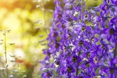 Delfínio de florescência no campo imagens de stock royalty free