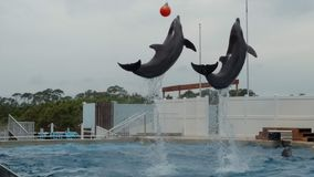 Delf?nes que nadan y que saltan en una piscina grande Elevaci?n en el aire y hacer tirones debajo de una boya imágenes de archivo libres de regalías