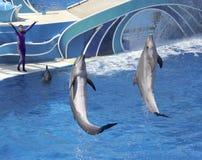 Delfinów dni przedstawienie Zabawia gości przy dolphin stadium fotografia royalty free
