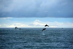 Delfinów powitania Fotografia Royalty Free