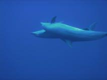 delfin Zdjęcie Royalty Free