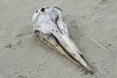 Delfin czaszka Obraz Royalty Free