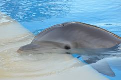 Delfin, däggdjur, vertebrat, marin- däggdjur, valdelfin och tumlare, marin- biologi, gemensam bottlenosedelfin Arkivfoto