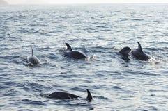 Delfin - Galapagos - Ecuador Royaltyfri Fotografi