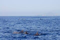 Delfin - Galapagos - Ecuador Royaltyfria Bilder