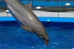 Delfin hoppar ut ur ramen Arkivfoto