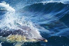 Delfin i blått vatten Royaltyfria Bilder