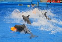 Delfin i delfinarium arkivbilder