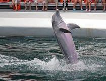 Delfin i delfinarium Arkivfoto