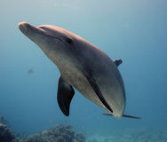 Delfin i det löst Arkivfoto