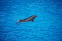 Delfin i en cirkel Royaltyfria Bilder