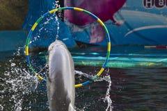Delfin i en delfinarium Arkivfoto
