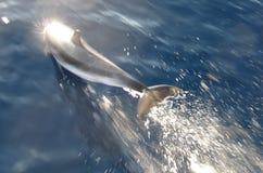 Delfin i Evia arkivfoto