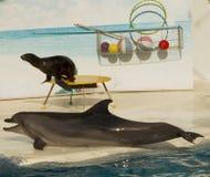 Delfin i futerkowa foka Obraz Royalty Free