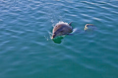 Delfin i havet Arkivfoto