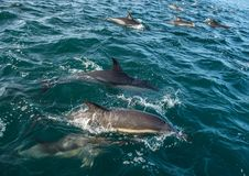 Delfin i havet Royaltyfri Bild