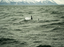 Delfin i Husavik Island Arkivbilder