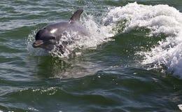 Delfin i lek Arkivbilder