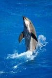 Delfin i pölen Royaltyfri Bild