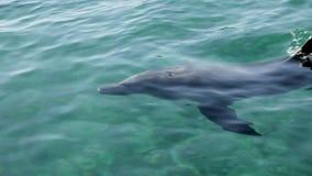 Delfin i vatten stock video
