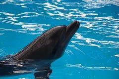 Delfin i vatten Fotografering för Bildbyråer