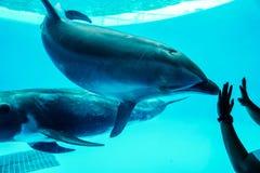 Delfin który próbuje kontaktować się ludzi Obrazy Royalty Free
