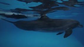 Delfin med att simma för instruktör som är undervattens- i delfinariumpölslut upp stock video