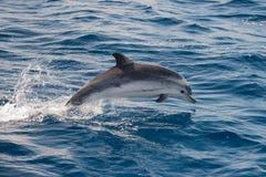 Delfin, medan hoppa i det djupblå havet Fotografering för Bildbyråer